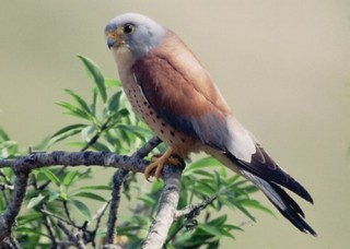 An endangered species, the Lesser Kestrel Falco na...